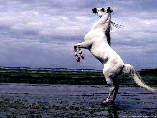 White Arabian Stallion Horse Stand