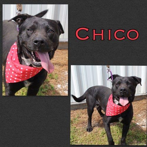 Name Chico. Breed American Bulldog/Labrador Retriever