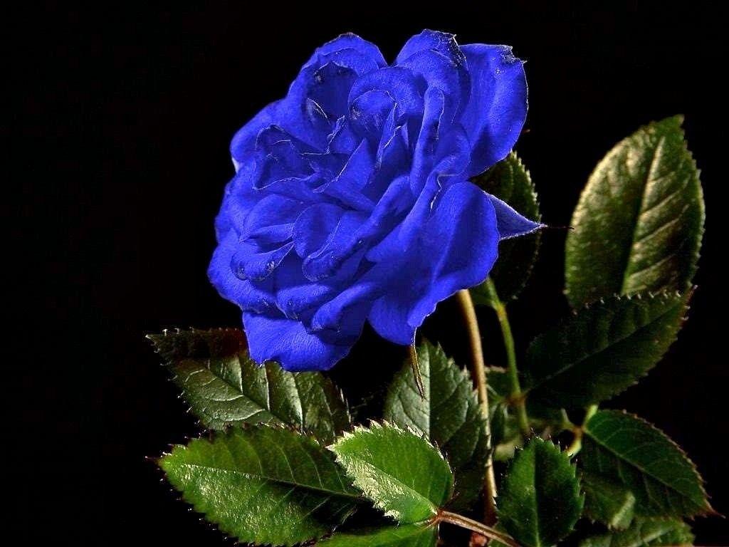 Roze Niebieskie Szukaj W Google Rose Color Meanings Flowers Rose Seeds