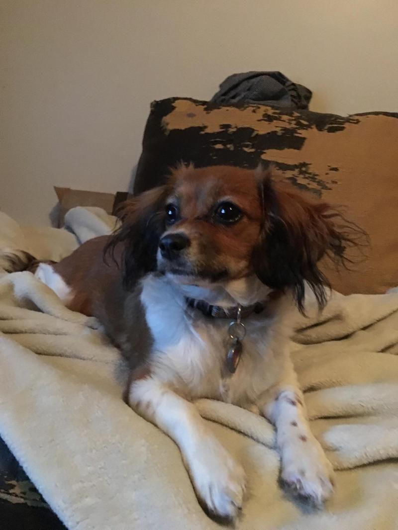 Adopt Sophia On Petfinder King Charles Spaniel Cavalier King Charles Papillon Mix
