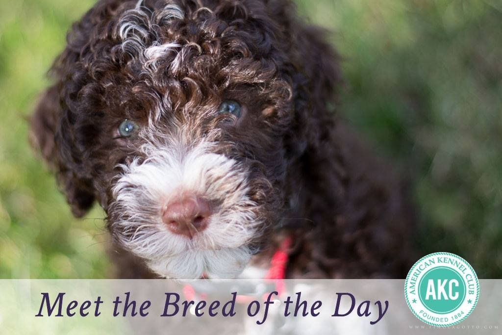 Meet The Breed Of The Day Lagotto Lagotto Romagnolo Puppy Lagotto Romagnolo Hypoallergenic Dog Breed