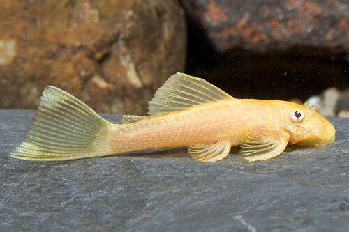 Pair Of Ancistrus Sp Lemon Catfish Approx 3 3 5 Cm Aquarium Fish Aquarium Fish For Sale Saltwater Aquarium Fish