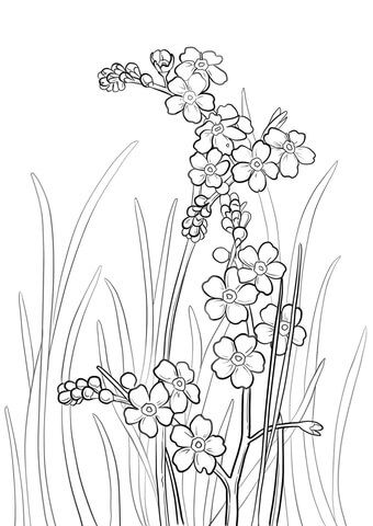 Alpine Forget Me Not Coloring Page Free Printable