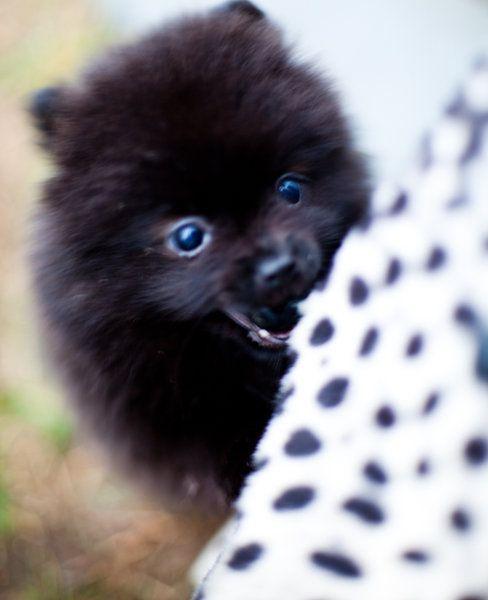 A Gorgeous Lil Pomeranian Named Pedro Animals Fur Babies