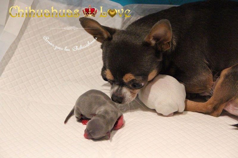 Chihuahuas Love Atender El Parto De Una Hembra Chihuahua Parto De Chihuahuas Chihuahua Love Chihuahua Pup