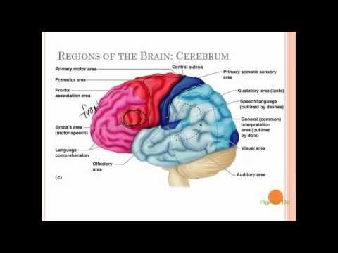 Quickly Memorize the Parts of the Brain - YouTube | Therapy ...