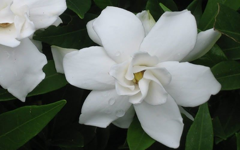 The Frost Proof Gardenia Was The Winner Of The 2007 Garden Writers