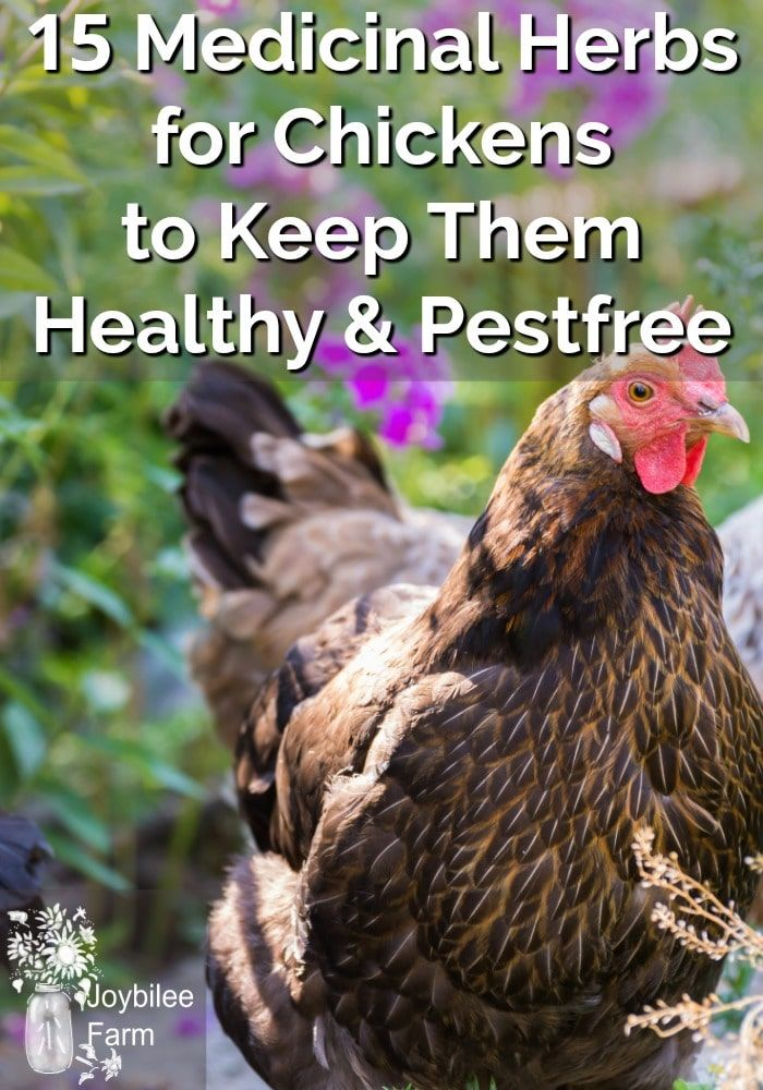 15 Medicinal Herbs for Chickens to Keep Them Healthy and Pestfree is part of Herbs for chickens, Backyard chicken farming, Raising backyard chickens, Chicken garden, Chickens, Backyard chicken coops - Grow these 15 herbs for chickens near the chicken coop  They will improve immunity, keep them parasite free, reduce their stress, and prevent boredom  Healthy, happy chickens lay more eggs  Growing herbs is a simple and economical way to keep your backyard flock healthy and productive