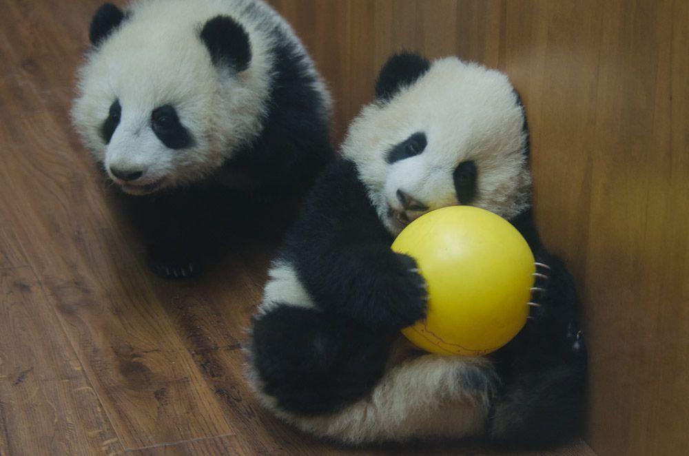 baby pandas at play #babypandas