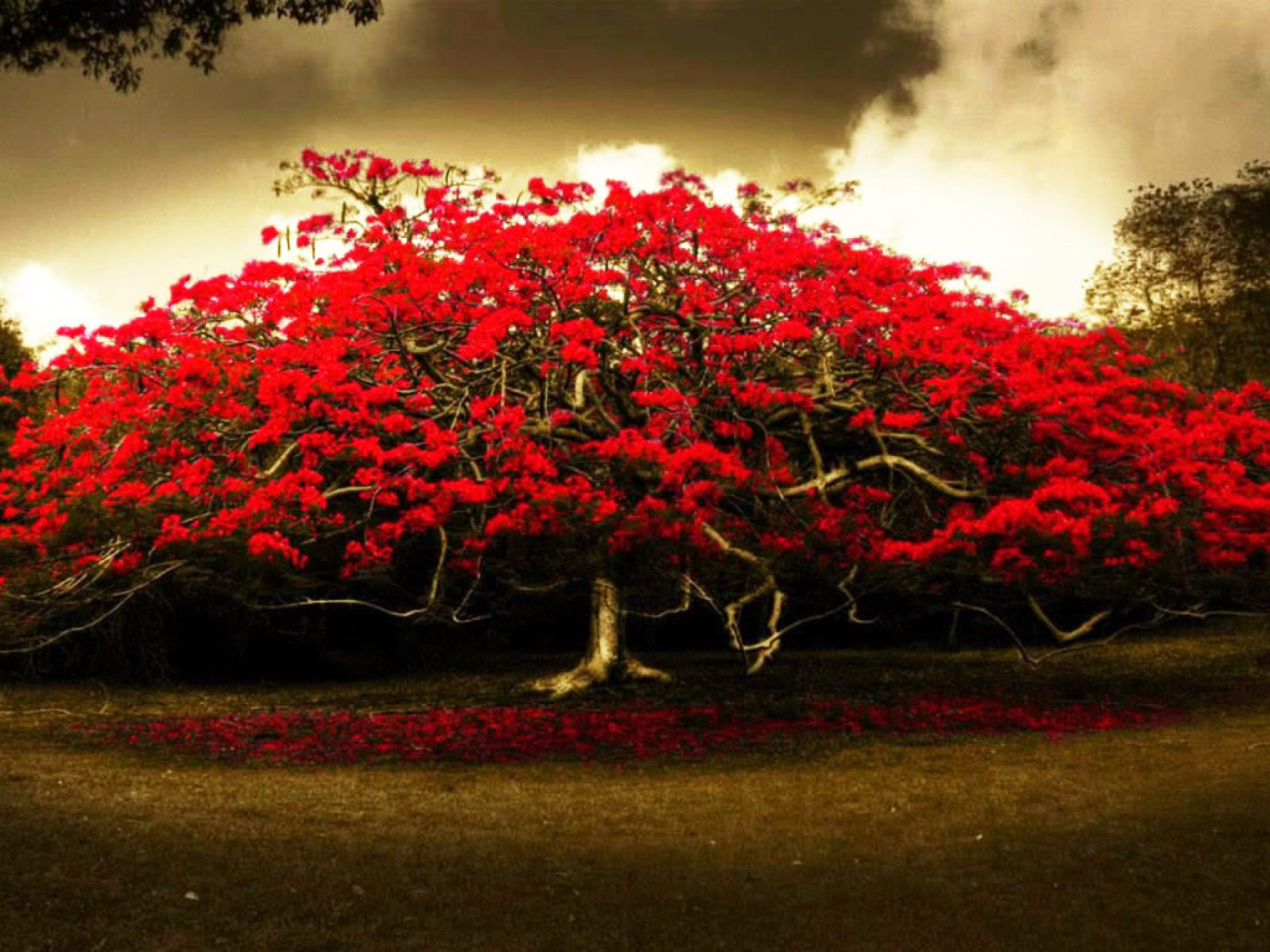 Red flowers tree wide hd wallpaper nature red flowers - Red flower desktop wallpaper ...