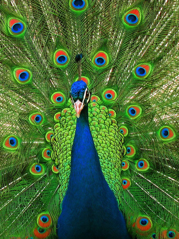 Pavo real de frente http://www.animalesomnivoros.es/aves-omnivoras ...