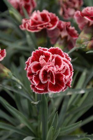 Sugar Plum Dianthus Dianthus Flowers Carnations Maple Tree Landscape