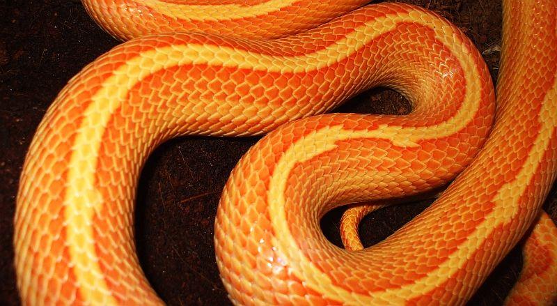 Fluorescent Orange Corn Snake Ribbon ~ motley...