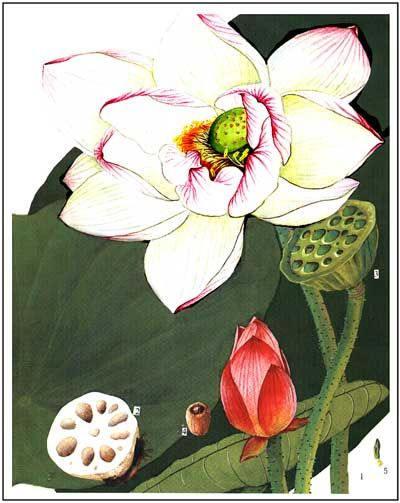 Lotus Seed Food And Medicine 928 Lotus Botanical Drawings