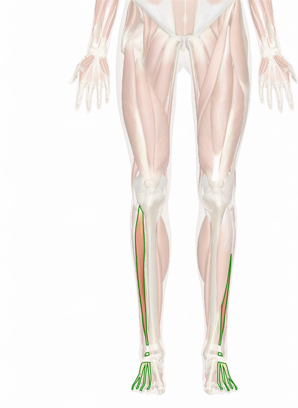 Extensor Digitorum Longus Muscle Injury Prevention And Health