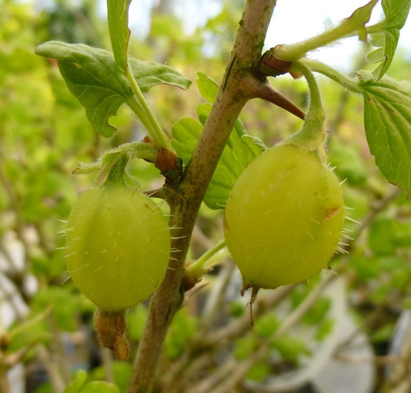 Gooseberry Careless Online From Jacksons Nurseries