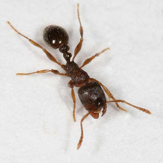 Types Of Ants Types Of Ants Ants Carpenter Ant