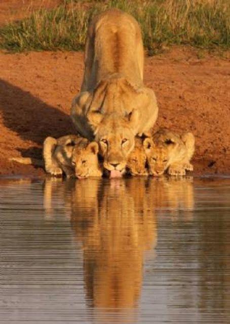 Happy Lions Family...
