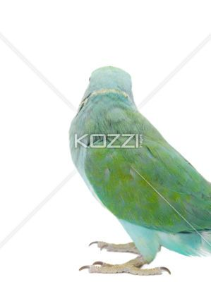 back of green bird - Back of the green bird isolated on a white background