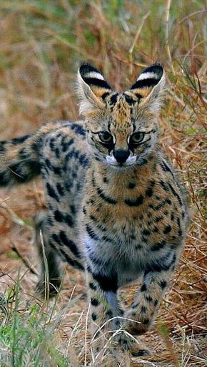 Servals are probably one of the more popular exotic kitties kept as pets in the United States Servals may look intimidating with their imposing stature and intense eyes b...