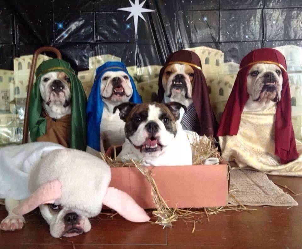 Bullie nativity So cute!! AdoraBull Bulldog, Cute