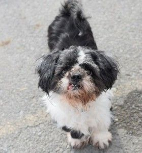 TO BE DESTROYED 03/28/16 **NEEDS A NEW HOPE RESCUE TO PULL**  ** VERY FRIENDLY SENIOR ** Kylo is not shy, he walked directly into the arms of the technician at the ACC of NYC. Kylo is a neutered, ten year old Shih Tzu mix. He might have surrendered as a stray, but he likes attention and is very willing to be handled. Kylo is a gentleman of a certain age, he is missing most of his upper teeth and enjoyed eating some soft food. So Kylo made a bit of a splash with personality at the front…