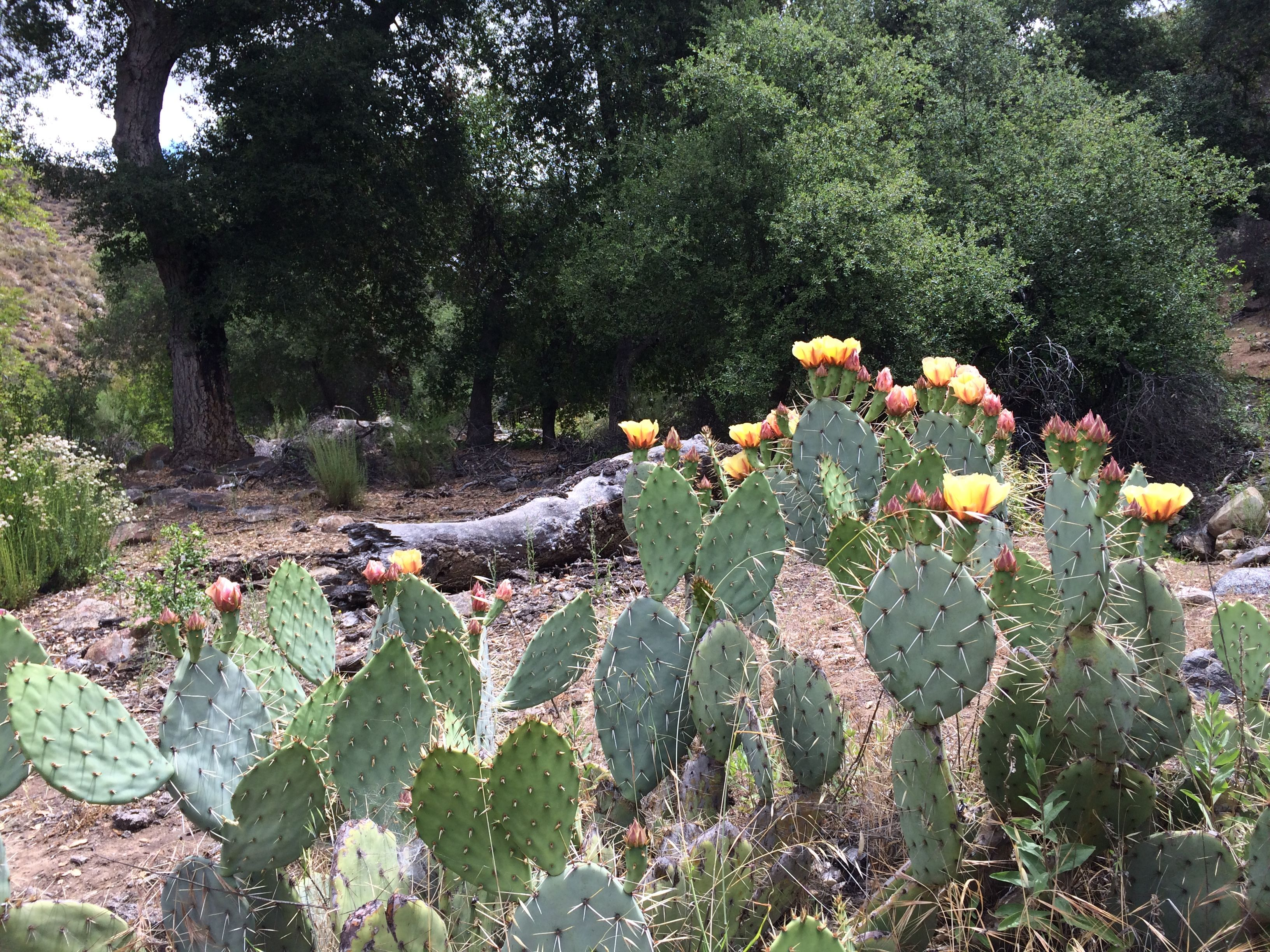 Cactus flowers in La Bellota Canyon
