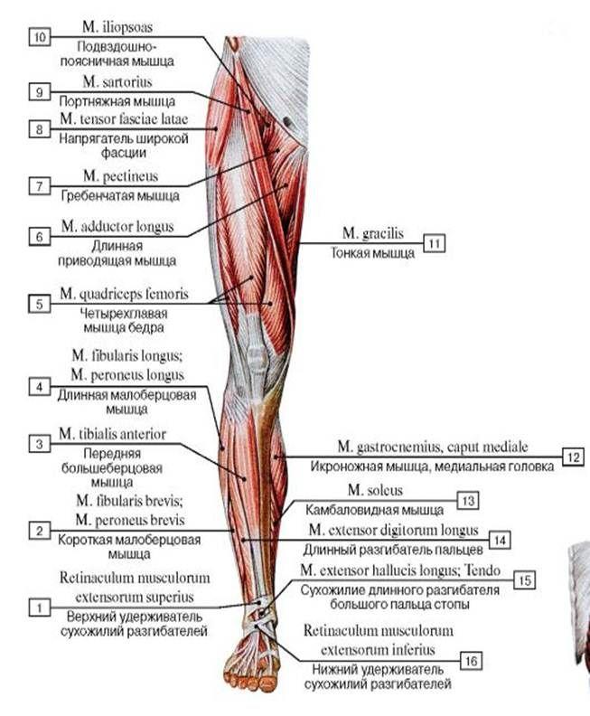 формирование расположение мышц на ногах человека схема образом