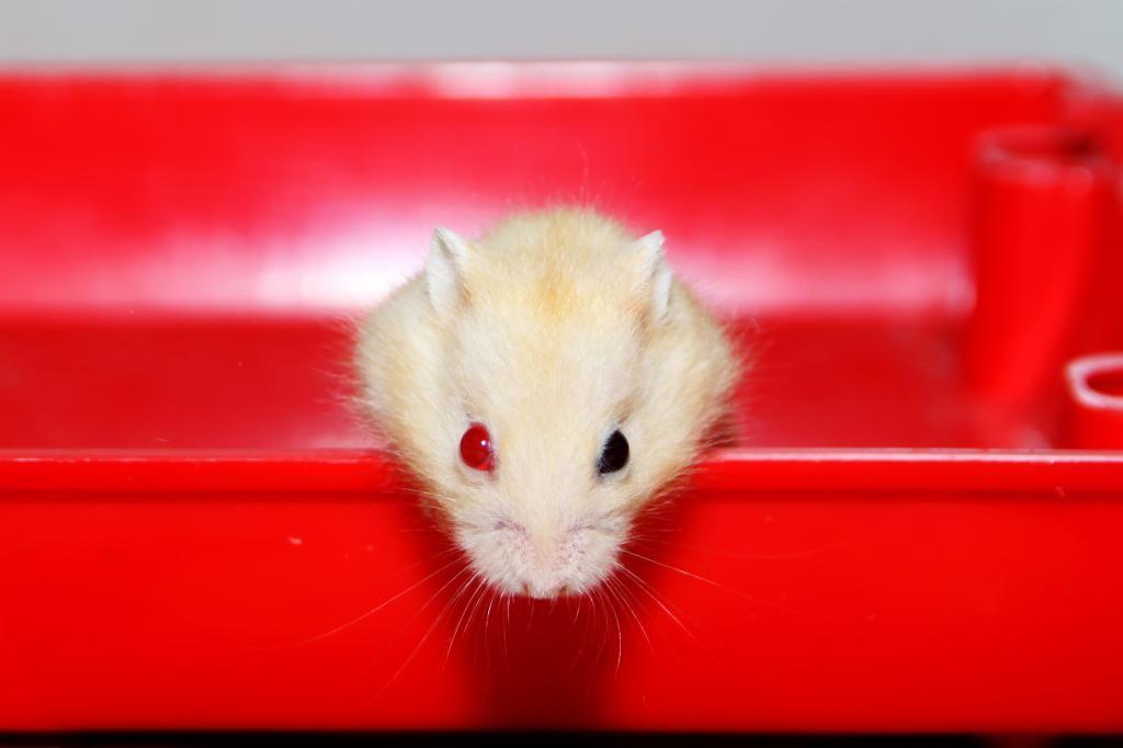 Winter White Golden Odd Eyed Hamster Hamster Pet Birds Winter White