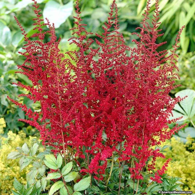Glow Astilbe (With images) Astilbe, Red plants, Shade garden
