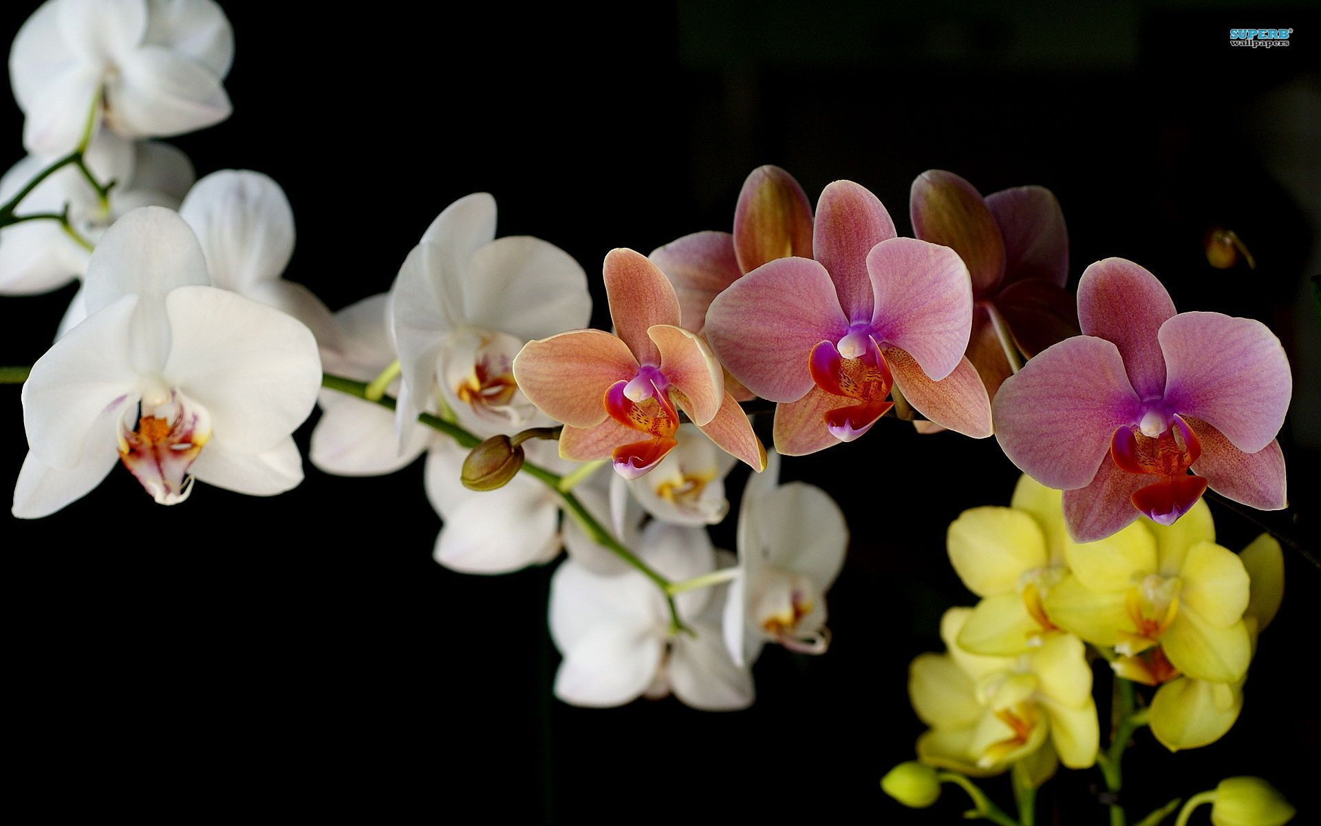 Orchids Flowers Beautiful Orchid Wallpaper Orchid Flower Pink Orchids