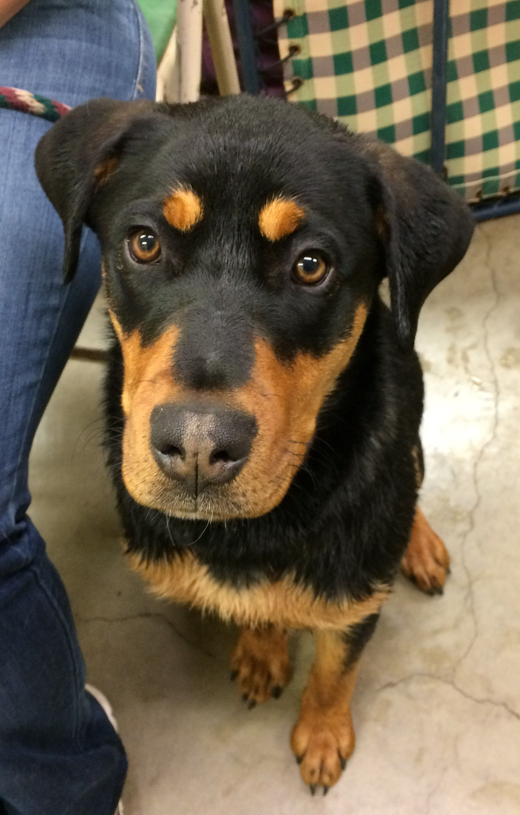 Rottweiler Dog For Adoption In Amarillo Tx Adn 493478 On