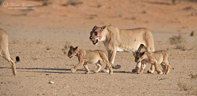Lion family » Focusing on Wildlife