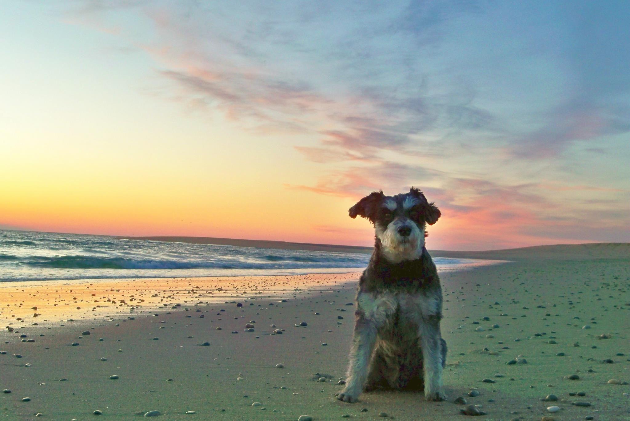 Atticus mini schnauzer dogs