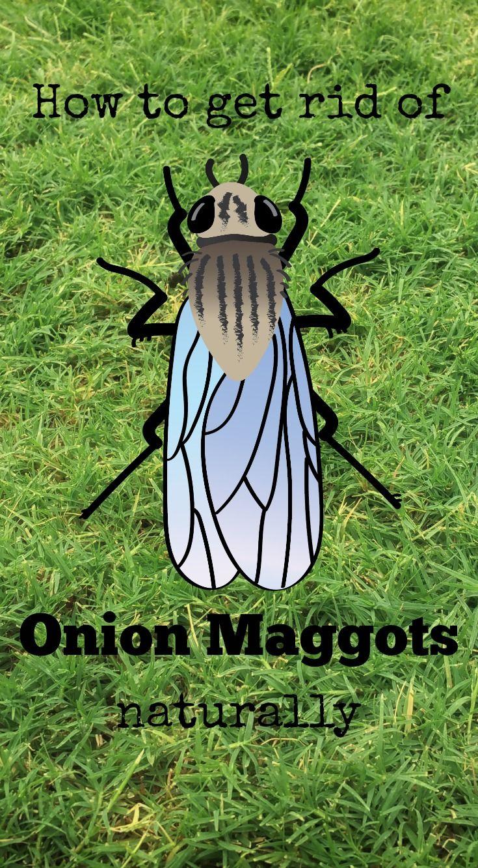 How To Kill Maggots In Garden