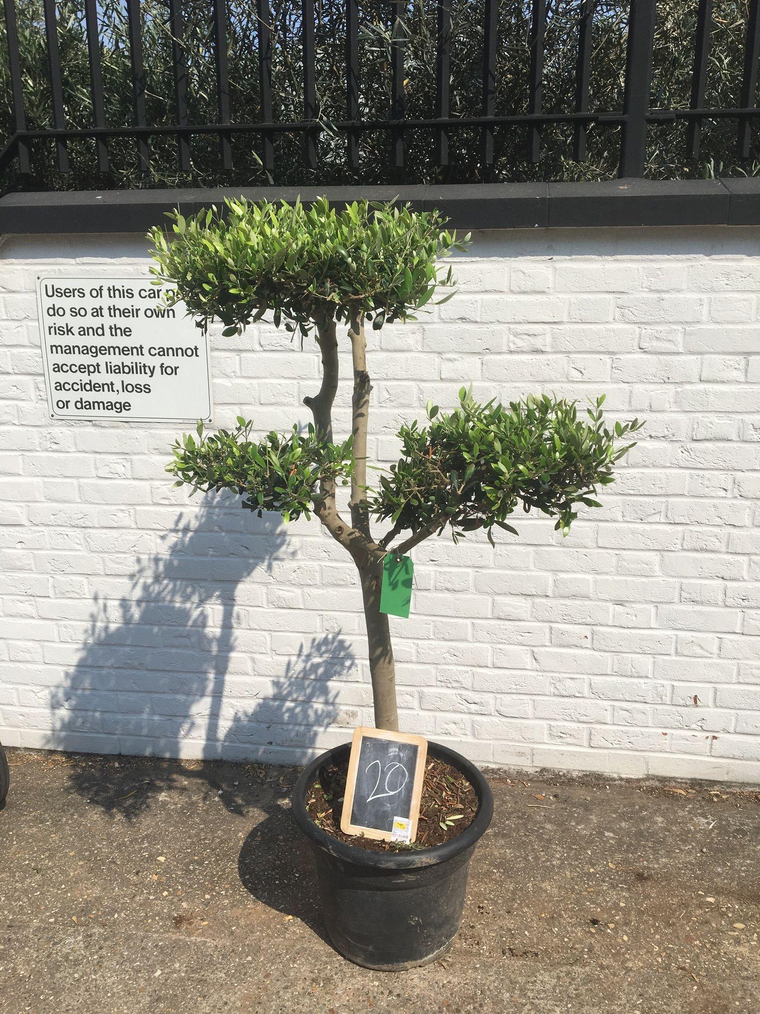 Cloud Pruned Olive Tree For Sale Ornamental And Hardy Pruning Olive Trees Olive Trees For Sale Cloud Pruning