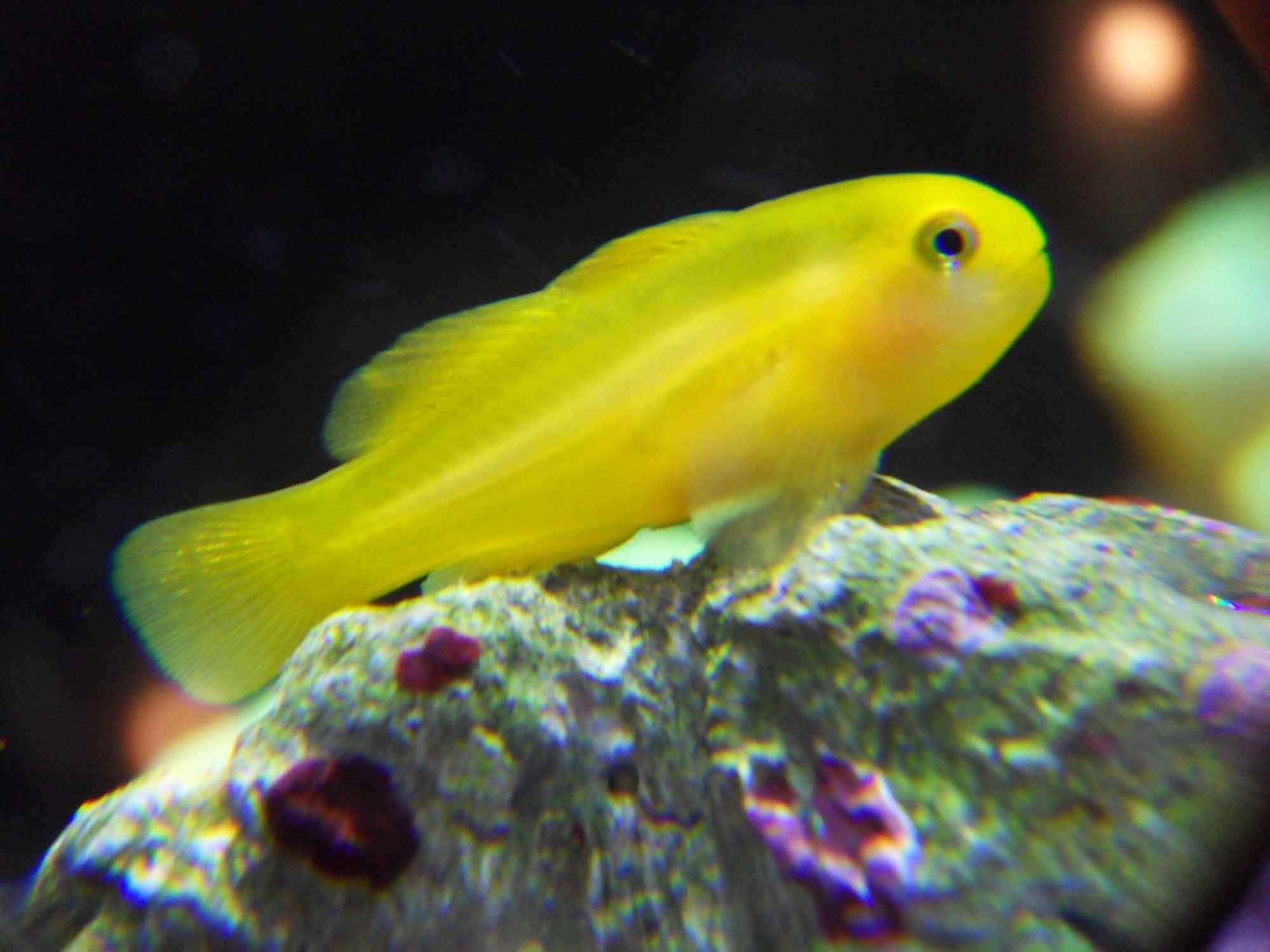 gobiodon okinawae yellow clown goby fish saltwater aquarium