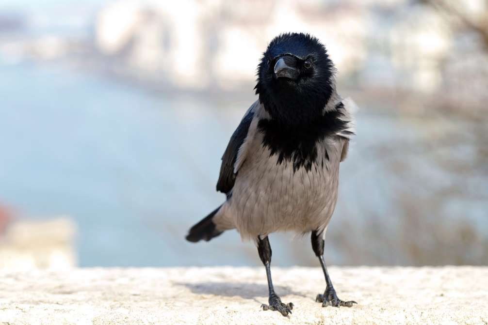 CROWS KNOW PHYSICS Not only can crows recognize faces to differentiate between predatory and benign species, they also understand basic physics , have been known to change entire migration patterns to avoid farms where crows have been killed in the past. Cool, calculating, and known to harbor a grudge