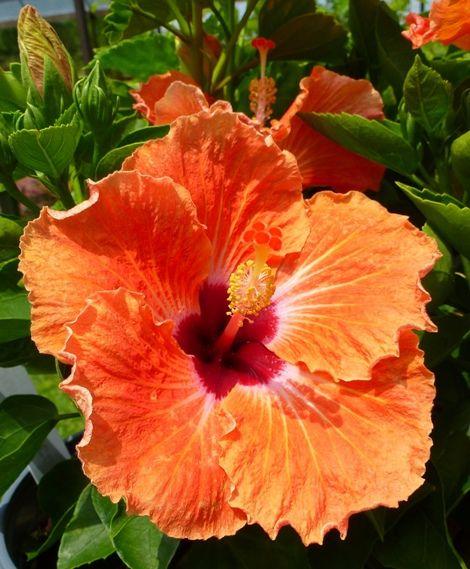 Sweetie Pie Cajun Hibiscus™,Hibiscus rosa-sinensis 'Sweetie Pie' - Almost Eden