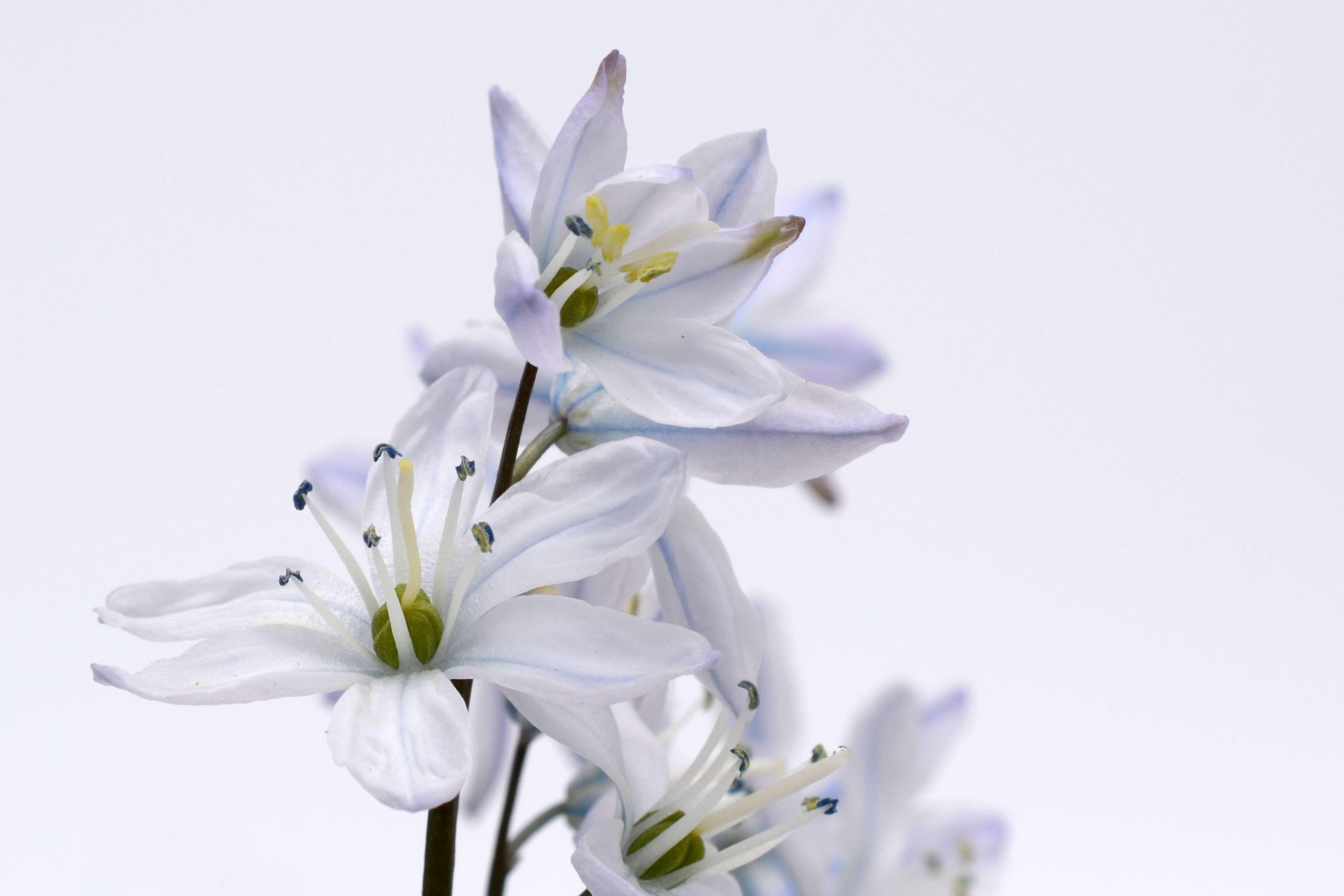 Asparagus Plant Bloom Blossom Blue Blue Star Flower Flowers Frhlingsblher Nature Plant Scilla Spring Spring Fl Star Flower Colorful Flowers Plants