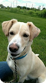 Aurora Il Labrador Retriever Mix Meet Alcott A Dog For Adoption Labrador Retriever Dog Adoption Labrador