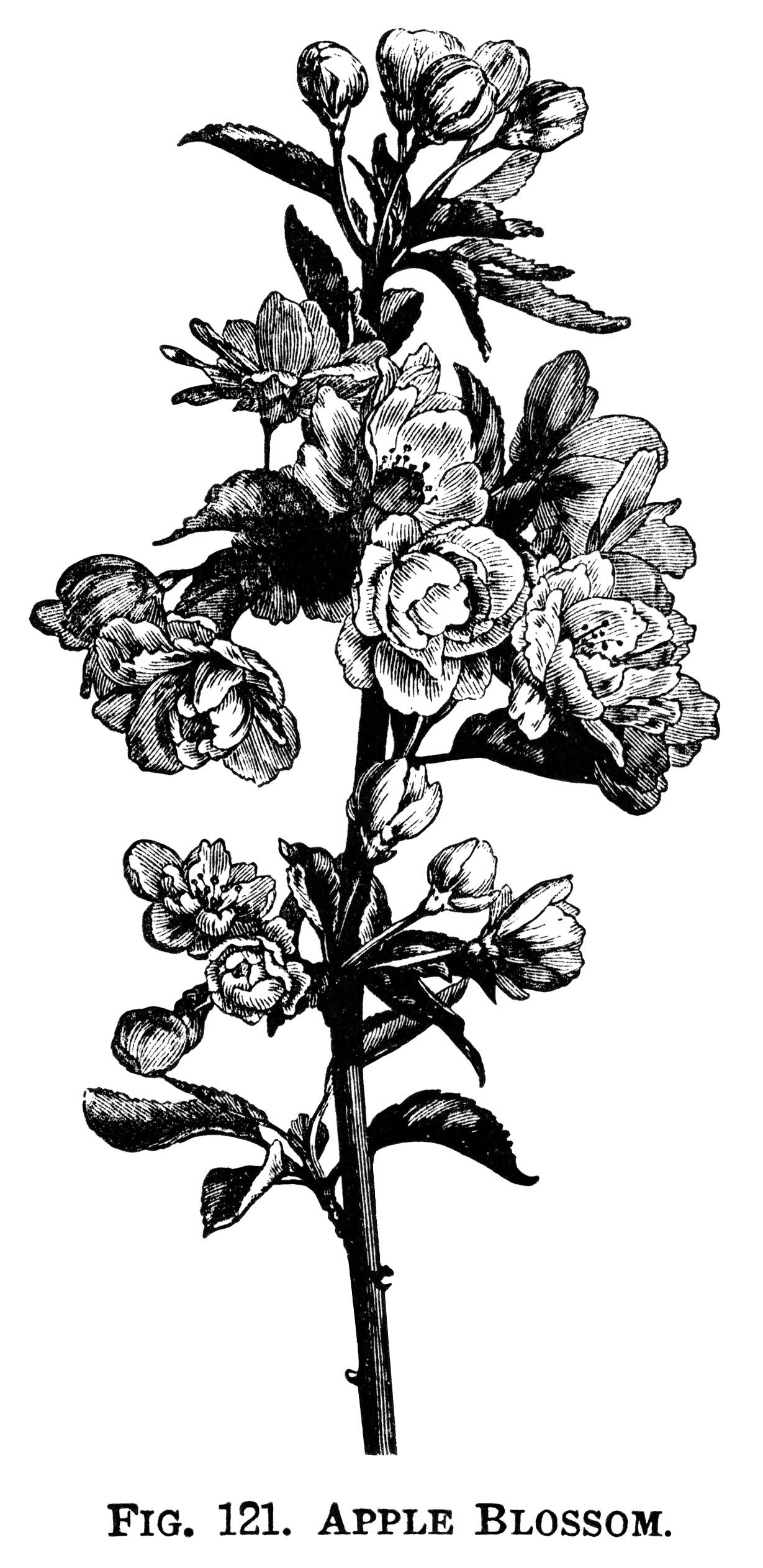 Apple Blossom Clip Art Flowering Tree Branch Flower Illustration Vintage Botanical Engraving