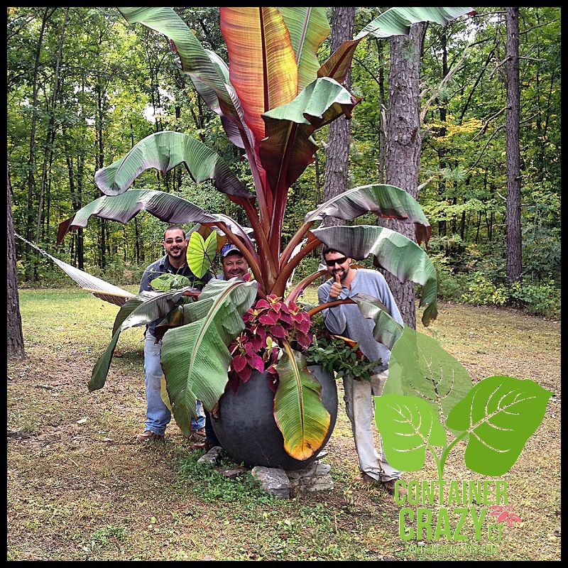 The Big Red Banana Plant Ensete To Be Part Of Demo Day My