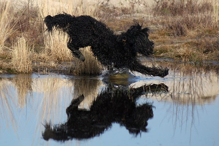 Alba, a French water dog