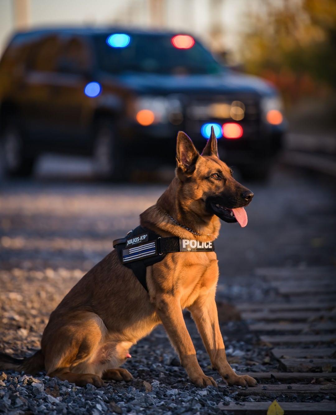 Pin By Sini On Koirat Ja Pennut In 2020 Dogs Of The World German Shepherd Puppies Grand Dog