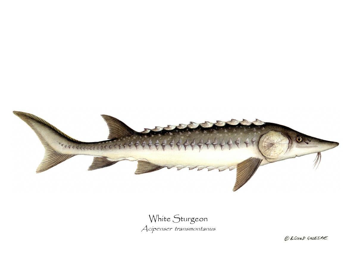 Wihte Sturgeon Acipenser Transmontanus Sturgeon Sturgeon Fish White Sturgeon