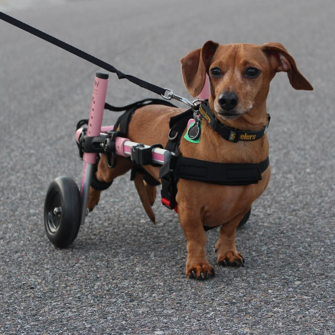 Dog Wheelchairs For Dachshunds Other Small Dogs Dog Wheelchair