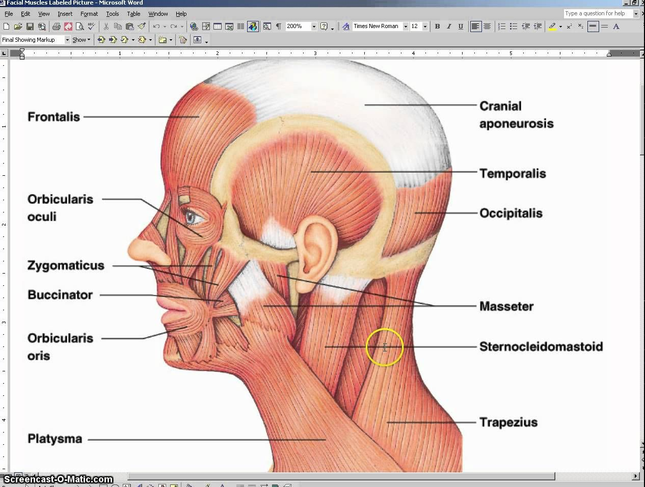 hight resolution of facial muscle anatomy with audio and for notes