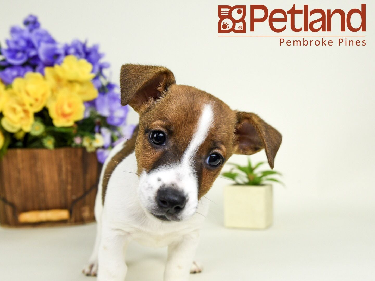A Jack Russell Terrier Is An Adorable Lifetime Friend Find Your
