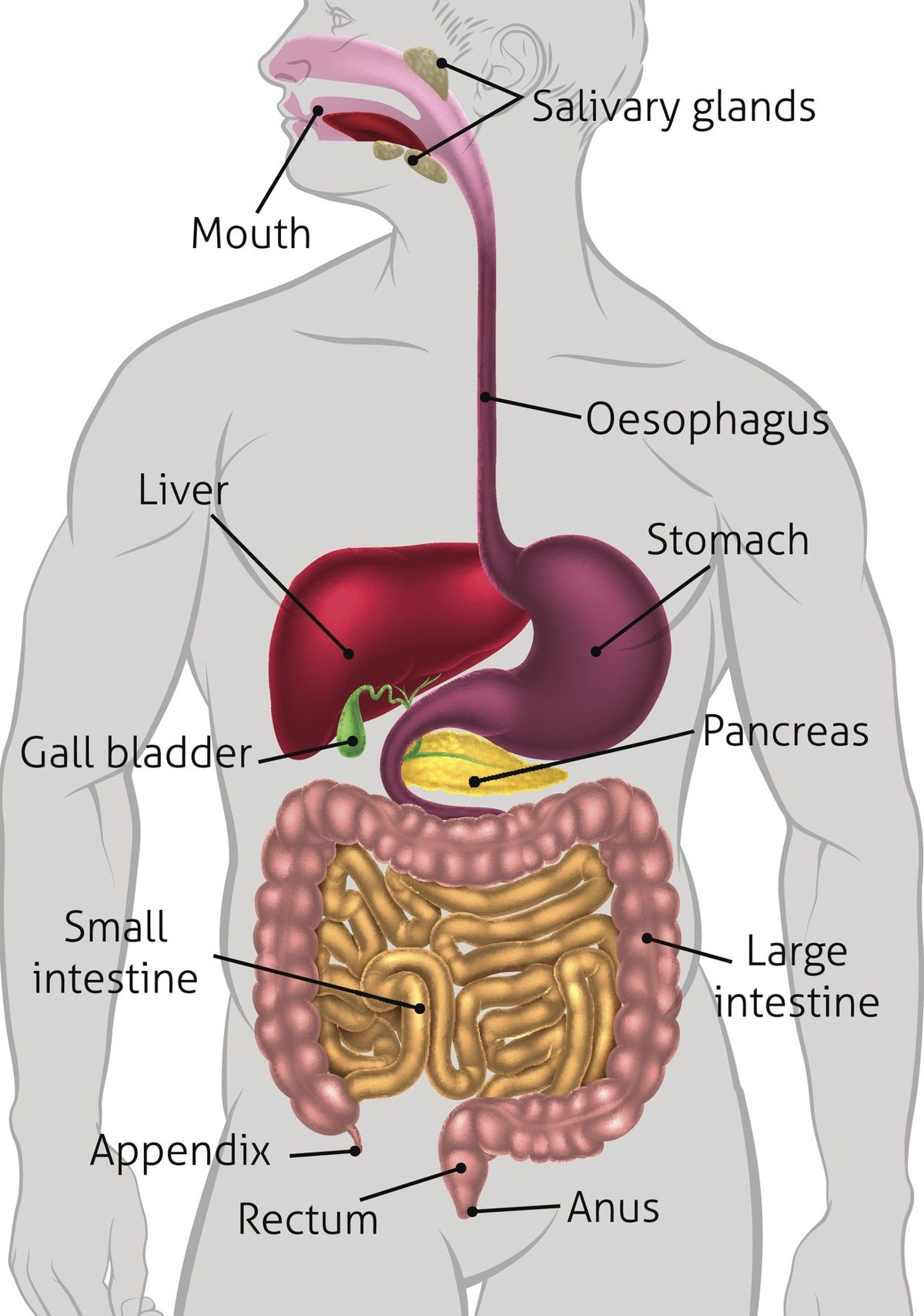 Human Digestive System Tract | Human digestive system ...